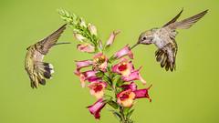 Bee-tween two Hummers (Eric Gofreed) Tags: arizona hummingbird mybackyard sedona villageofoakcreek yavapaicounty annashummingbirds