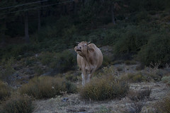 Pinar de Abantos (gonzalo_cesp) Tags: cow vaca woods centerd landscape spain nature natura naturaleza espaa paisaje forest animals fauna