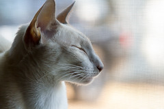 Clea's Profile (suzeesusie) Tags: cat siamesecat siamkatze meezer modernsiamese kitty katze gato lilacpoint animal pet portrait whiskers furry