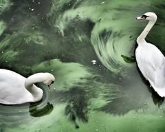 Schwanensee (Alsterdrama mit Gestank) (redstarpictures) Tags: hamburg deutschland alster ausenalster algen blaualgen schwangerschaft schwne stgeorg germany alsterlake swansea green grn bluegreen algae