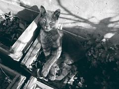 (*paz) Tags: cat gato monotone nature animal black white