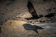 Envol Dlictueux (Frdric Fossard) Tags: oiseau volatile chocard aile vol envol faunealpine rocher merdeglace alpes hautesavoie massifdumontblanc plumage noir becjaune luminance