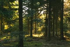 Morgensonne (izoll) Tags: izoll sony alpha77ii wald waldaufnahmen natur sonnenstrahlen lichtundschatten lichtstrahl naturaufnahmen bume