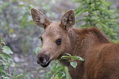 Adorable Baby Moose (tomblandford) Tags: moosecalf babymoose babyanimals adorable cutebabyanimals dailynaturetnc13 dailynaturetnc14 wildlifeofthewest alaskanwildlife alaskanmoose