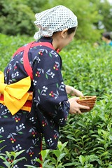 Dressed in the traditional Chamusume for tea picking (Obubu Tea Farms) Tags: autumn fields green greentea harvest nature obubu tea teafield teaharvest teapicking wazuka
