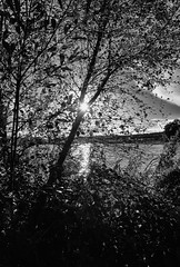 Catching the sun. (George McNeill photography) Tags: 365shutterreleasechallengeblackandwhite blackandwhite countymonaghan ireland lake landscape lough lovephotography monochrome nature nikond7200 outdoor reeds reflections sunset trees water