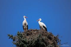 Stork Nest (ToxicPhoto89) Tags: vogel bird stork storch nest