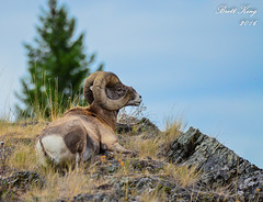 Bighorn Enjoying the View! (dbking2162) Tags: bighorn sheep nature wildlife animal outside mountains mountain montana glaciernational senicviews