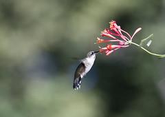 Honey~ (Connie Etter Photography) Tags: hummingbird indiana rubythroatconnieetterphotography nature bird canon 1dx 100400mm honeysuckle eat