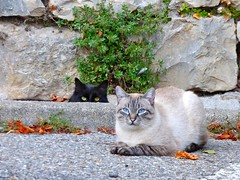 Le duo (apolloniacyclade) Tags: chat chats cat cats animal animals ruelle lane village provence cute mignon beautiful beaut tendresse tenderness quiet tranquille duo pierres stones street
