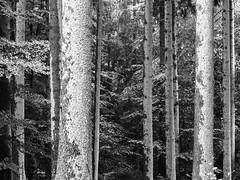Rainy wood / Verregneter Wald (schauplatz) Tags: regen spaziergang stuttgartrohr bume wald forest wood schwarzweiss blackandwhite blackwhite