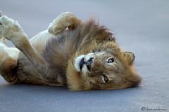 King of the Road (leendert3) Tags: lion ngc sunrays5 npc coth5 greatphotographers