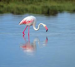 IMG_8557 (ibzsierra) Tags: ibiza eivissa baleares canon 7d 2100400 is sum ave bird oiseau flamenco flamingo salinas parque natural