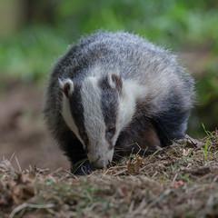 Badger (Mr F1) Tags: badger melesmeles johnfanning wild scotland countryside feeding woodland nocturnal blackandwhite mammal