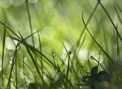 In the grass (Ali's view) Tags: alisonhall macro green shade bokeh garden dew