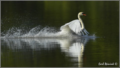 Splashdown (Earl Reinink) Tags: swan earl reinink earlreinink nature naturephotography nikon nikond5 zuaaauedra mute muteswan