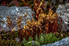 Conciliabule des Boutons (Frdric Fossard) Tags: nature fleur flore plante vgtal florealpine fleurdemontagne bokeh flou profondeurdechamps peinture alpes hautesavoie massifdumontblanc pictural texture tige saxifrage