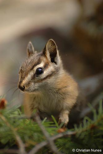 Photo - Least Chipmunk