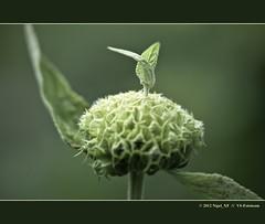 ... unusual plant (nigel_xf) Tags: nikon bodensee nigel d300 nikond300 nigelxf vsfototeam