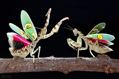 Sn u - EX (thienbs) Tags: macro mantis insect thienbs