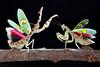 Sàn đấu - EX (thienbs) Tags: macro mantis insect thienbs