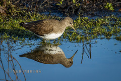 Green Sandpiper (Novisteel) Tags: winter birds flickr wildlife places greensandpiper moorgreen ngdphotos