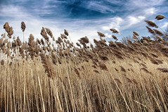 Phragmites (NancyArmstrongThomson ~ away for awhile) Tags: sky plants nature water grass clouds reeds photo shoreline lakes shore tall aggressive phragmite common phragmites kincardine lakehuron perennial wetland invasive phragmitesaustralis commonreed mygardenschool kincardineontariocanada