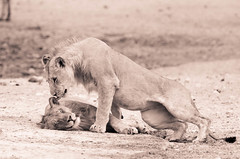 """Two young lion brothers in Etosha National Park, Namibia • <a style=""""font-size:0.8em;"""" href=""""https://www.flickr.com/photos/21540187@N07/8293927086/"""" target=""""_blank"""">View on Flickr</a>"""