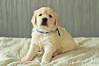Pirin - 30 days ! (.:: Maya ::.) Tags: dog baby 30 puppy golden retriever дни пирин mayaeye mayakarkalicheva маякъркаличева