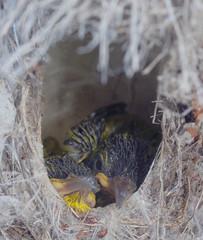 Baby sunbirds, Cape Pallarenda, Townsville, QLD 21/12/12 (Russell Cumming) Tags: bird yellowbelliedsunbird nest capepallarenda townsville queensland