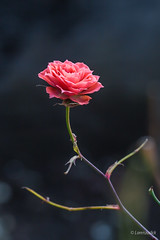 Last little rose