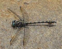 Boulder Hooktail (Paragomphus cognatus) Male (Rezamink) Tags: southafrica dragonflies odonata gomphidae paragomphuscognatus boulderhooktail
