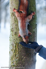 "Russian squirrel feeding <a style=""margin-left:10px; font-size:0.8em;"" href=""http://www.flickr.com/photos/24828582@N00/8311568244/"" target=""_blank"">@flickr</a>"