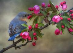 Eastern Bluebird (Phiddy1) Tags: ngc npc motat tatot magicunicornverybest magicunicornmasterpiece creativephotocafe besteverdigitalphotography besteverexcellencegallery tatotfrontpagejanuary2013