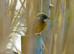 Un blauet!! / A Kingfisher!! (SBA73) Tags: bird beautiful au catalonia ave kingfisher catalunya pajaro llobregat aiguamolls commonkingfisher alcedoatthis ocell parcnatural martinpescador deltadelllobregat blauet maresma lesfilipines