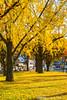 杏林 Ginkgo / Kyoto, Japan (yameme) Tags: travel japan canon eos ginkgo maple kyoto 京都 日本 銀杏 kansai 旅行 關西 楓葉 東本願寺 higashihonganjitemple 24105mmlis 5d3 5dmarkiii