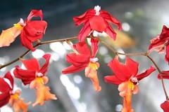 IMG_1808edit (sarannwrap01) Tags: red orange usa flower garden washingtondc dc washington spring adventure national shallowdepthoffield warmcolors