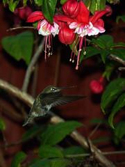 hummingbird & fuchsia in the yard (nolehace) Tags: fall flower bloom nolehace san fz35 1212 hummingbird fuchsia yard red flickrflorescloseupmacros sanfrancisco