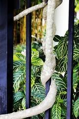 Bar Snake (LarryJay99 ) Tags: plants color macro leaves fence bars unitedstates florida bokeh outdoor roots westpalmbeach blooms root banyan mounts mountsbotanicalgardens ilobsterit