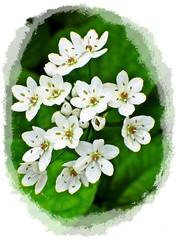 Poesia di Gennaio / Poetry of January (fioresoleil) Tags: verde poesia fiori bianco gennaio grappolo fiorellini