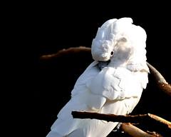 Don't be shy (rwalstrom) Tags: light red white bird eye contrast nikon florida flock beak feathers shy sleepy perch staugustine saintaugustine staugustinealligatorfarm d3100