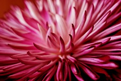 01-04-chrysanthemum (Paul Sibley) Tags: flower photoaday nikond60 2013inphotos