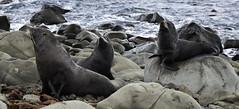 Fur Seal, Kaikoura, New Zealand (Alexflx54) Tags: newzealand wild wallpaper nature beautiful canon landscape photography seal southisland 5d kaikoura furseal landscapephotography canon5dmarkii