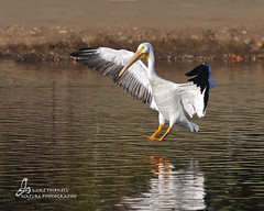 Landing (mtetcher) Tags: california bird nature nikon wildlife sigma americanwhitepelican santeelakes nikonsigma avianphotography d300s 120400mm