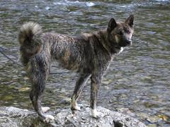 Nina in the River Wye - (Pete Roberts (rhayader_wanderer)) Tags: dog nina akita powys riverwye rhayader radnorshire