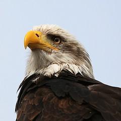 Bald eagle (justfordream) Tags: bird animal eyes eagle adler bald raptor prey augen tier vogel greifvogel weisskopfadler
