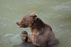 Gimme a high five (Alan Vernon.) Tags: bear wild brown nature alaska river mammal foot paw stream toes wildlife tag bears tagged coastal american grizzly speedy predator claws ursus carnivore alaskan arctos horribilis