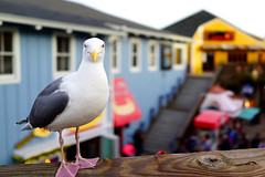 Are you looking at me? () Tags: sanfrancisco california usa bird closeup 35mm colorful bokeh seagull pier39 fullframe streetshot primelens rx1 sonyrx1 sonydscrx1 sonycybershotrx1