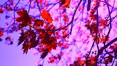 A Shard of Paradise (S3V3R!7Y) Tags: blue red sky sun cold flower color tree me beautiful leaves rose canon rebel leaf spring amazing cool nice violet indigo buds xsi awestruck