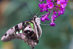 Tailed Jay Butterfly (Bob Decker) Tags: macrolife